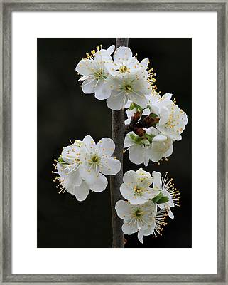 Pear Blossoms Framed Print by Angie Vogel
