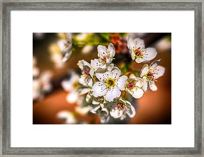 Pear Tree Blossoms Framed Print by Sennie Pierson