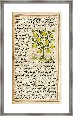 Pear Tree Framed Print by British Library