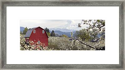 Pear Tree Orchard In Hood River Oregon Framed Print