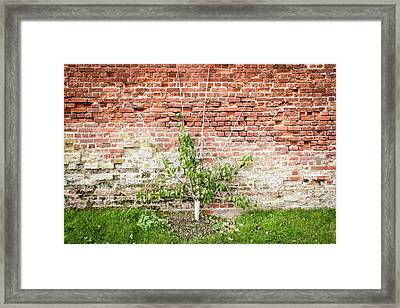 Pear Tree Framed Print by Tom Gowanlock