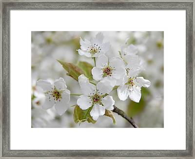 Pear Tree White Flower Blossoms Framed Print by Jennie Marie Schell