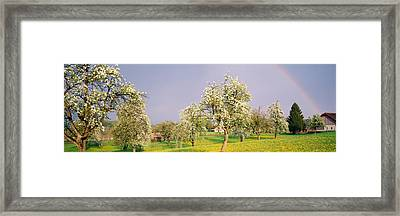 Pear Trees In A Field Pyrus Communis Framed Print