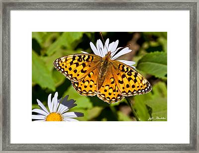 Framed Print featuring the photograph Pearl Border Fritillary Butterfly On An Aster Bloom by Jeff Goulden