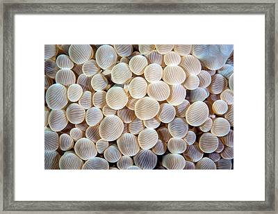 Pearl Bubble Coral Framed Print by Ethan Daniels