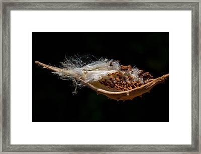 Pearl Milkweed Pod Split Open Framed Print