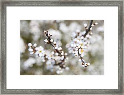 Pearls Of Blackthorn Framed Print