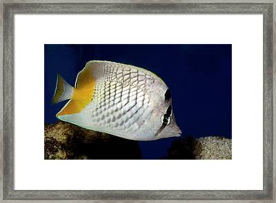 Pearlscale Or Yellow-tailed Butterflyfish Framed Print