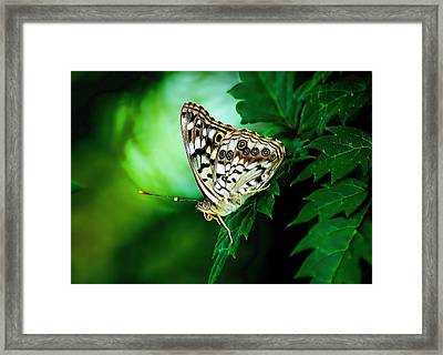 Pearly-eye Butterfly Framed Print