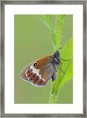 Pearly Heath Butterfly Framed Print