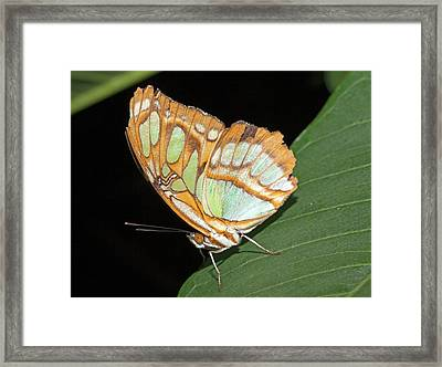 Pearly Malachite Butterfly Framed Print