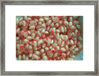 Pearly Pomegranate Seeds Framed Print