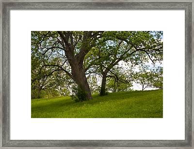 Pecan Trees Framed Print