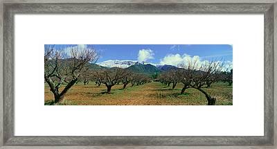 Pecan Trees, Ojai, California Framed Print