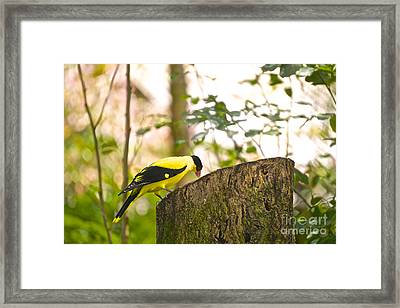 Pecking Away Framed Print
