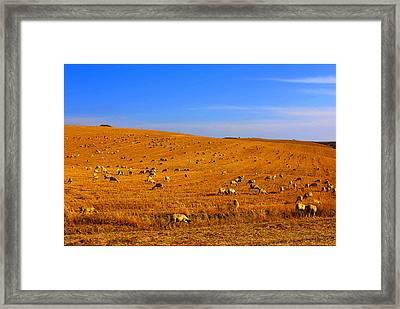 Sheep Grazing Framed Print