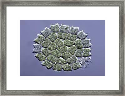 Pediastrum Green Algae, Micrograph Framed Print by Science Photo Library