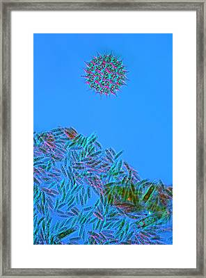 Pediastrum Sp., Lm Framed Print by Marek Mis