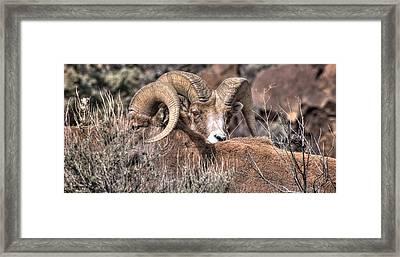 Peekaboo Bighorn  Framed Print by Britt Runyon