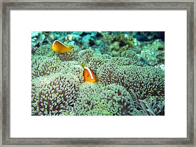 Peekaboo Clownfish Framed Print by Laura Hiesinger