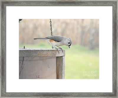 Peeking Chickadee Framed Print by Erick Schmidt