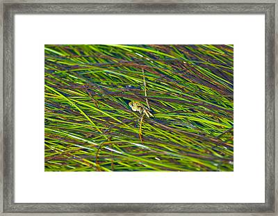 Peeking Crab Framed Print by Sarah Crites