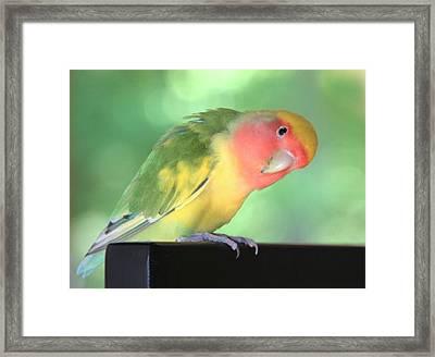 Peeking Peach Face Lovebird Framed Print by Andrea Lazar