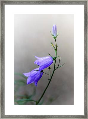 Blue Bells Peeking Through The Mist Framed Print by Debra Martz