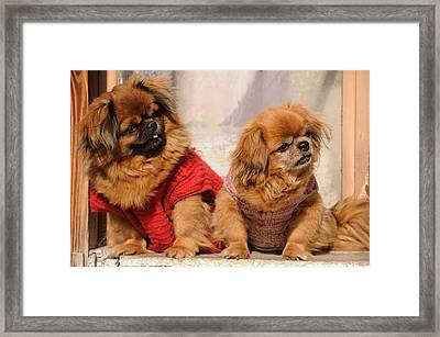 Pekingese Pair Framed Print by Jeremy Voisey