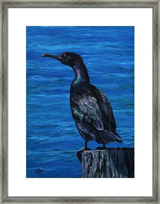 Pelagic Cormorant Framed Print by Crista Forest