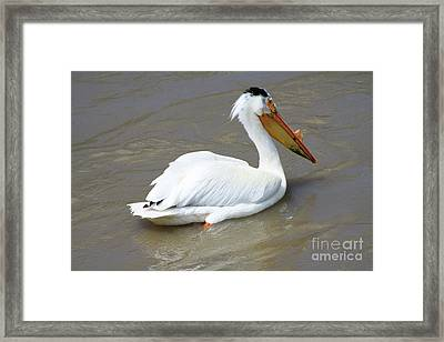 Framed Print featuring the photograph Pelecanus Eerythrorhynchos by Alyce Taylor