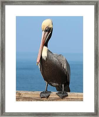 Pelican - 3  Framed Print