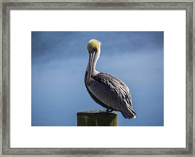 Pelican 02 Framed Print