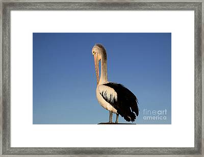 Pelican Alone Framed Print