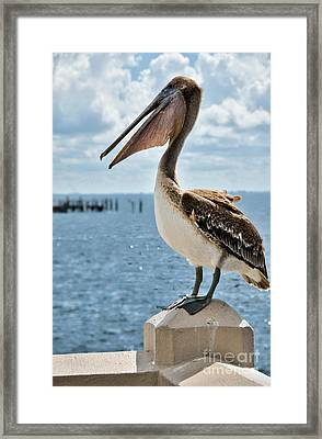 Pelican Framed Print by Amy Cicconi