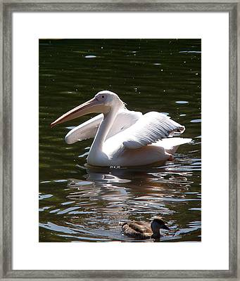 Pelican And Friend Framed Print