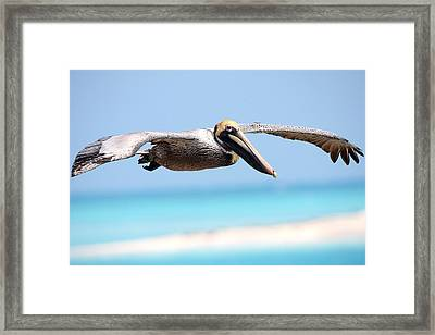 Pelican At Dry Tortugas National Park Framed Print by Jetson Nguyen