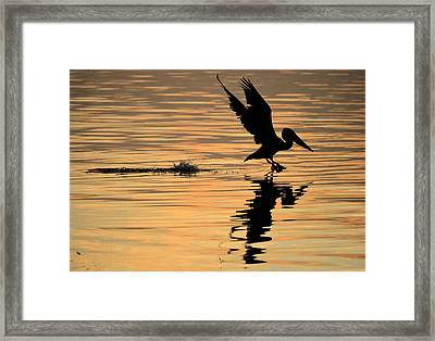 Pelican At Sunrise Framed Print by Leticia Latocki