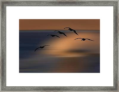 Framed Print featuring the photograph Pelican Blur  73a2324 by David Orias