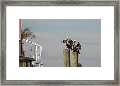 Pelican Buddies Framed Print by John M Bailey