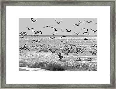 Pelican Chaos Framed Print