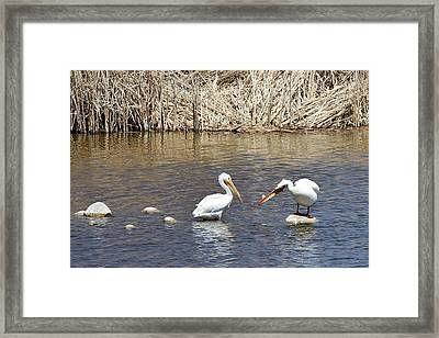 Pelican Confrontation Framed Print