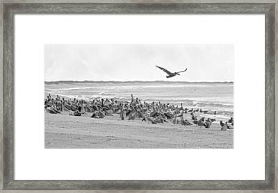 Pelican Convention  Framed Print by Betsy Knapp
