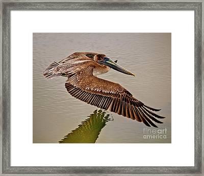 Pelican Cruise Framed Print