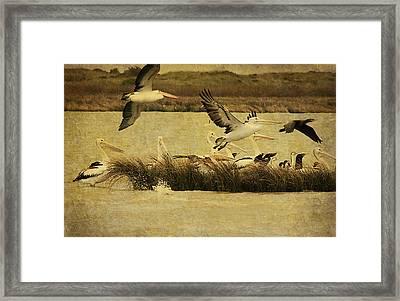 Pelican Days Framed Print