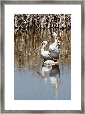 Pelican Deuce Framed Print by Diane Alexander
