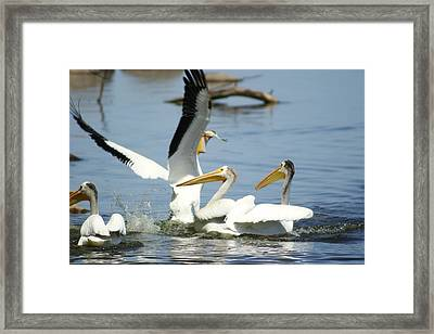 Pelican Feast Framed Print