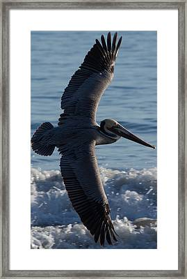 Pelican Flight Framed Print