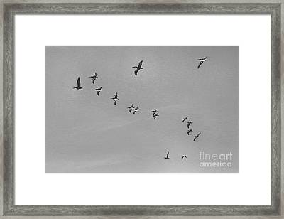 Pelican Flying Formation II Framed Print