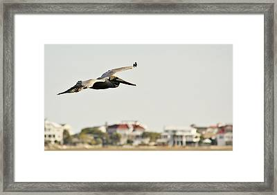 Pelican Flying Over Murrells Inlet Framed Print by Paulette Thomas